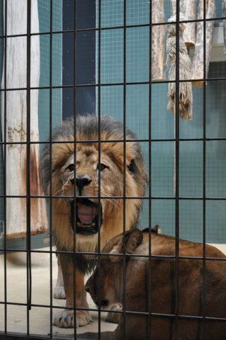 Lev v kleci pobyt ve tmě